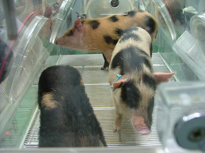 무균 통에서 태어난 돼지 - 서울대 제공